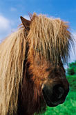 shaggy stock photography | Ireland, County Louth, Shetland pony, image id 4-753-90