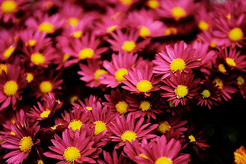 image S4-528-8664 Italy, San Gimignano, Flowers