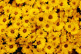 yellow stock photography | Italy, San Gimignano, Flowers, image id S4-528-8679