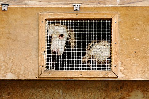 image S4-528-8778 Animals, Dogs in cage