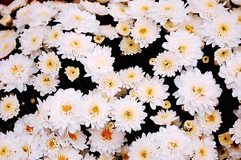 image S4-528-8806 Italy, San Gimignano, Flowers