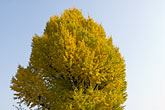 blue sky stock photography | Japan, Tokyo, Maple Tree, image id 5-850-1861