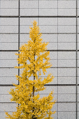 image 5-850-2742 Japan, Tokyo, Maple tree and office building, Marunouchi
