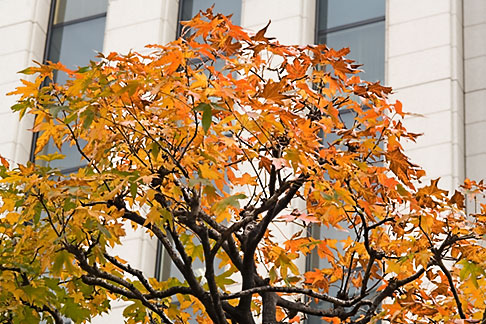 image 5-850-2769 Japan, Tokyo, Maple tree and office building, Marunouchi