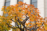 autumn foliage stock photography | Japan, Tokyo, Maple tree and office building, Marunouchi, image id 5-850-2769