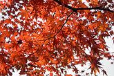 low angle view stock photography | Japan, Kyoto, Maple leaves, image id 5-855-2540
