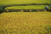 cropland stock photography | South Korea, Andong, Rice fields, image id 2-700-22