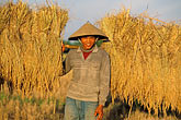 head covering stock photography | Laos, Vientiane Province, Rice farmer in field, image id 8-570-3