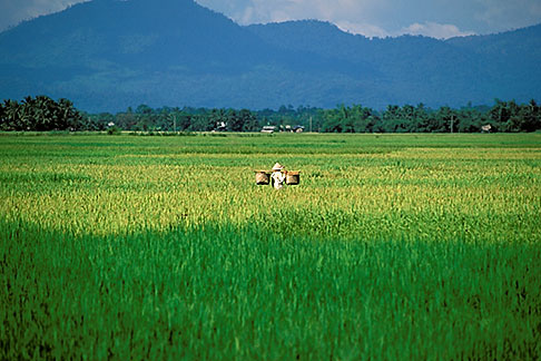 image 8-570-6 Laos, Vientiane Province, Rice fields
