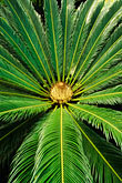 leaf stock photography | Tropical plant, Cycad, Cycas revoluta, image id 8-233-10
