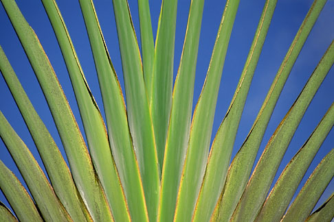 image 8-233-2 Tropical plant, Voyager tree, Ravenala madagascariensis,