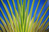 macro stock photography | Tropical plant, Voyager tree, Ravenala madagascariensis, , image id 8-233-2