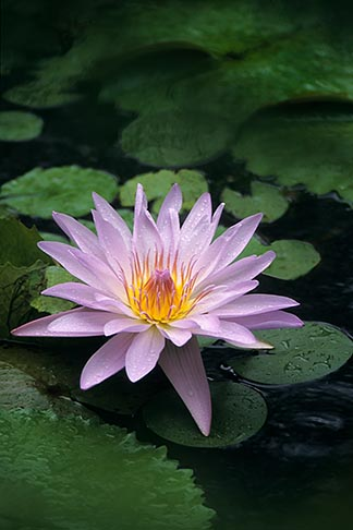 image 8-235-32 Martinique, Jardin de Balata, Blue water lily, Nymphae Coerulea