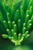 garden stock photography | Martinique, Jardin de Balata, Conifer (Araucaria heterophyla), image id 8-237-1