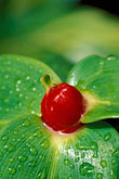 lush stock photography | Martinique, Jardin de Balata, Ginger (Costus speciosus), image id 8-237-29