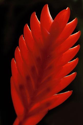 image 8-250-19 Martinique, Jardin de Balata, Bromelia Bromelia tillandsia