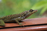 anole lizard stock photography | Martinique, Gecko, image id 8-276-11