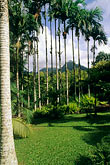 scenic stock photography | Martinique, Jardin de Balata, Betel nut palms, Areca catechu, image id 8-309-6