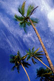 blue sky stock photography | Martinique, Anse des Salines, Palms, image id 9-25-12