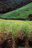 lush stock photography | Martinique, Sugarcane fields, image id 9-45-50