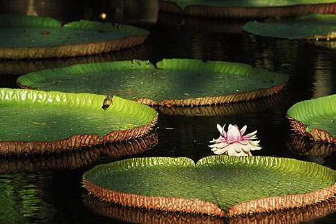 image 9-201-20 Mauritius, Pamplemousses, Victoria Regia water lilies