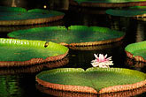 native plant stock photography | Mauritius, Pamplemousses, Victoria Regia water lilies, image id 9-201-20