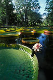 native plant stock photography | Mauritius, Pamplemousses, Victoria Regia water lilies, image id 9-201-80