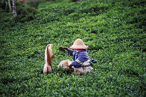 image 9-202-60 Mauritius, Picking tea on a tea plantation