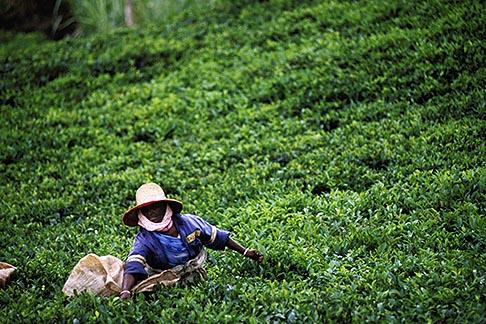 image 9-202-63 Mauritius, Picking tea