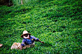 one woman only stock photography | Mauritius, Picking tea , image id 9-202-63