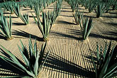 thorn stock photography | Mexico, Cabo San Lucas, Cactus and hotel entrance, image id 0-52-61