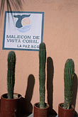 mexico stock photography | Mexico, La Paz, Cactus and wall, the Malec�n, image id 0-80-10