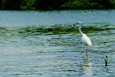 wading bird stock photography | Mexico, Yucatan, Sian Ka