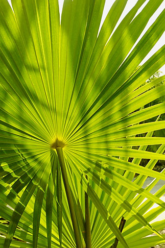 image 4-850-3080 Mexico, Yucatan, Sian Kaan Biosphere Reserve, palm frond
