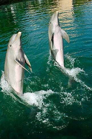 image 4-850-4270 Mexico, Riviera Maya, Puerto Aventuras, Dolphin Discovery