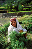 vertical stock photography | Pakistan, Karakoram Highway, Hunzakut woman in fields, Altit, Hunza, image id 4-453-31