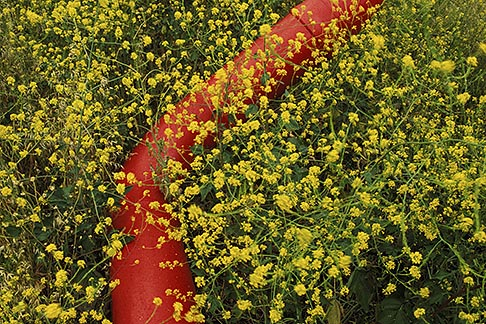image 4-218-32 California, Solano County, Mustard flowers and water pipe