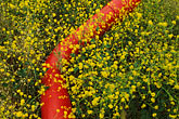 mustard flowers and red pipeline stock photography | California, Solano County, Mustard flowers and water pipe, image id 4-218-32