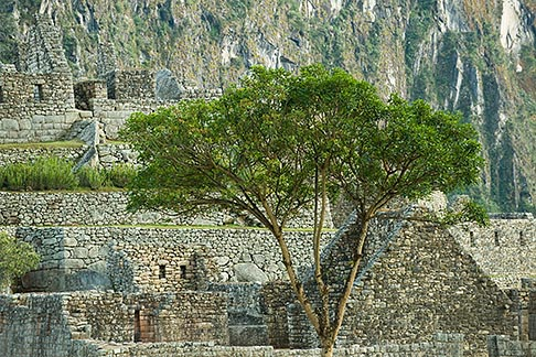 image 8-760-1429 Peru, Machu Picchu, Machu Picchu Inca site, Sacred Plaza, solitary tree and stone walls