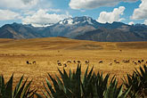 latin america stock photography | Peru, Pisac, High Altiplano above Urumamba Valley, Sheep grazing, Nevada Chicon in distance, image id 8-760-1804