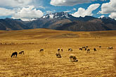 latin america stock photography | Peru, Pisac, High Altiplano above Urumamba Valley, Sheep grazing, Nevada Chicon in distance, image id 8-760-1811