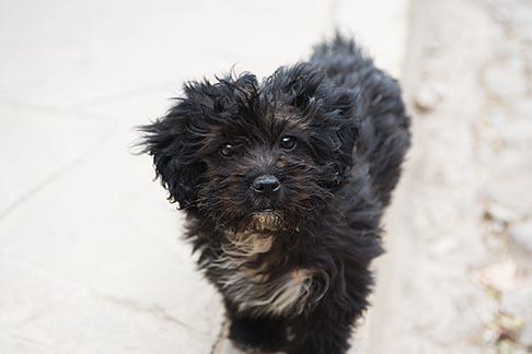 image 8-761-1380 Peru, Ollantaytambo, Black dog, frontal view