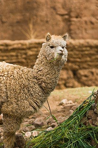 image 8-761-735 Peru, Cuzco, Llama, tethered, feeding