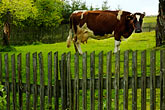 looking up stock photography | Poland, Jelenia Gora, Cow in field with fence, image id 4-960-1252