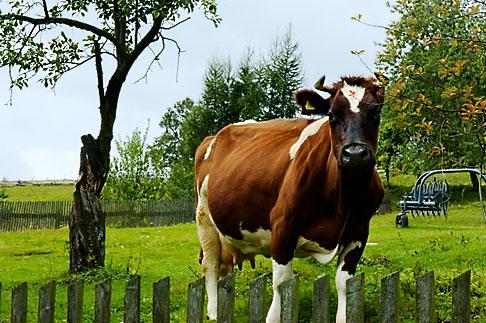 image 4-960-1253 Poland, Jelenia Gora, Cow in field with fence