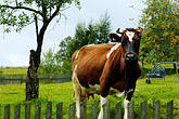 stand stock photography | Poland, Jelenia Gora, Cow in field with fence, image id 4-960-1253