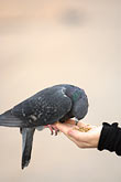 womans hand stock photography | Poland, Krakow, Pigeon feeding from woman