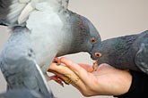 womans hand stock photography | Poland, Krakow, Pigeons feeding from woman