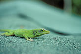 green stock photography | Puerto Rico, Anole lizard, image id 1-354-24