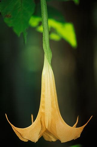 image 1-354-29 Puerto Rico, Datura flower, Toro Negro Forest